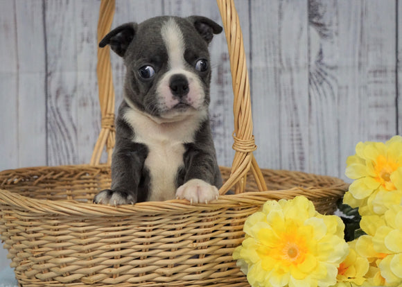 AKC Registered Boston Terrier For Sale Warsaw, OH Male- Snoopy