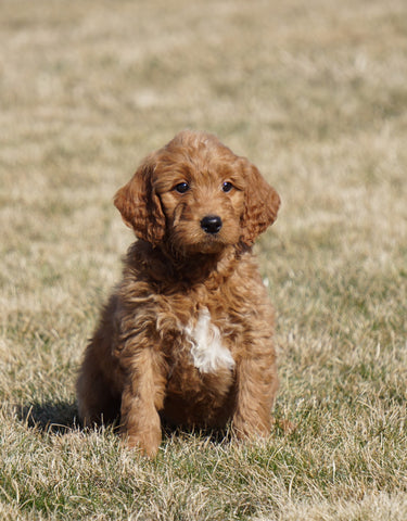 Mini Goldendoodle For Sale Loudonville, OH Male- Anson
