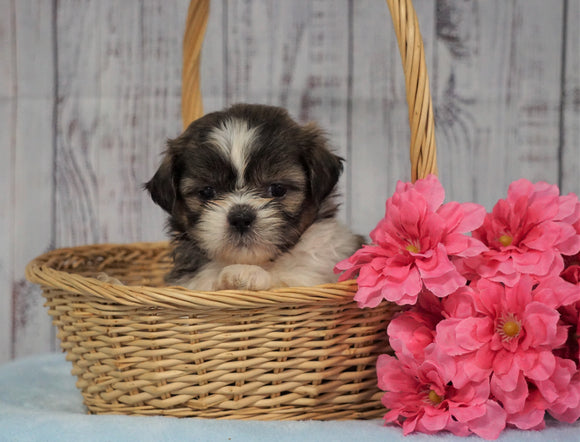 Shih Tzu For Sale Warsaw, OH Female- Amber