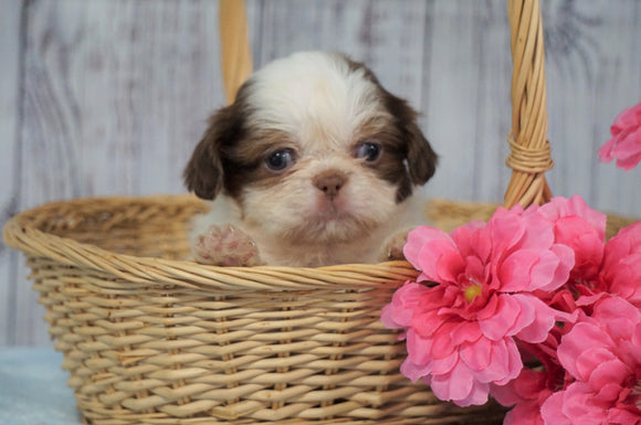 Shih Tzu For Sale Warsaw, OH Female- Betsy