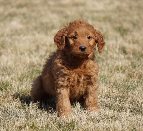 Mini Goldendoodle For Sale Loudonville, OH Female- Niki