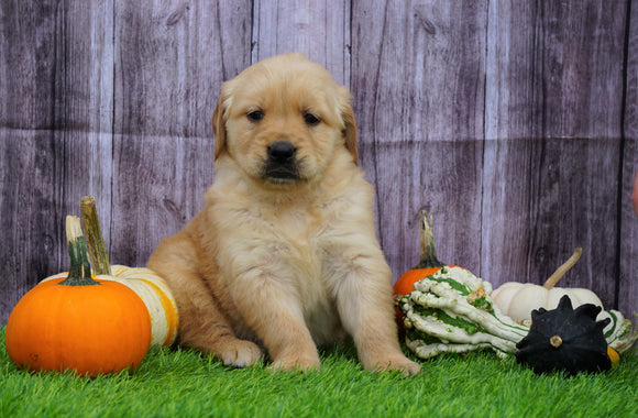 AKC Registered Golden Retriever For Sale Fredericksburg, OH Female- Amber