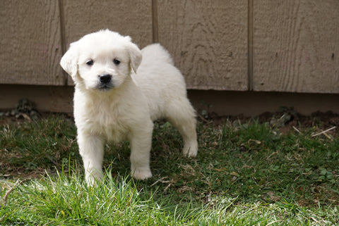 AKC English Creme Golden Retriever For Sale Fredericksburg Ohio Male Joe