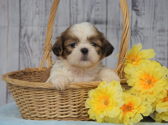 Shih Tzu For Sale Warsaw, OH Male- Gage