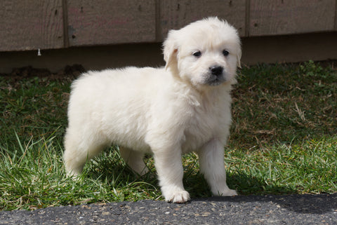 AKC English Creme Golden Retriever For Sale Fredericksburg Ohio Female Molly