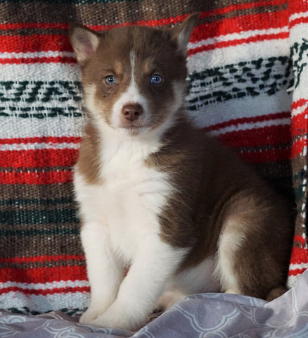 Siberian Husky For Sale Fredericksburg, OH Female - Violet