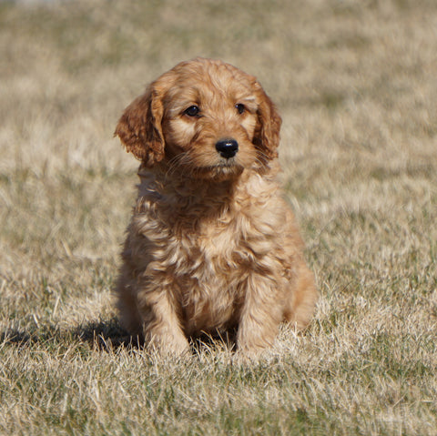Mini Goldendoodle For Sale Loudonville, OH Male- Reese