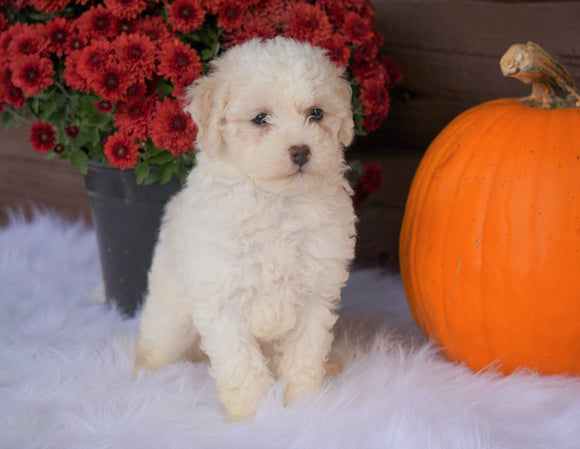 ACA Registered Miniature Poodle For Sale Holmesville, OH Female- Nelly