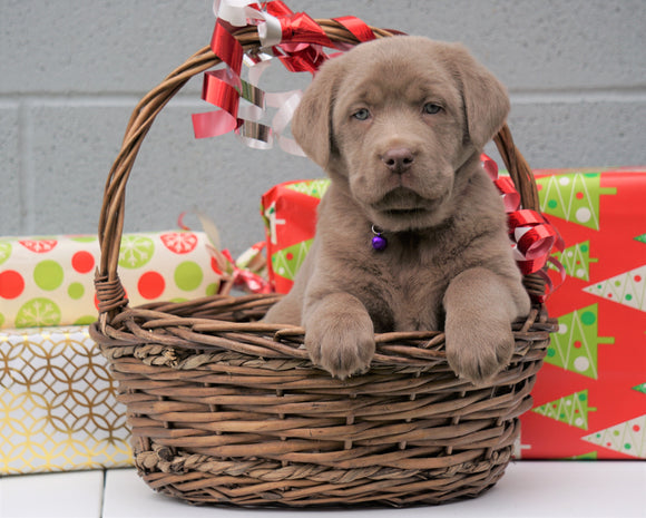 AKC Registered Silver Labrador Retriever For Sale Millersburg OH, Female - Snowflake