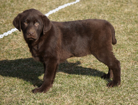 AKC Registered Labrador Retriever For Sale Sugarcreek, OH Male- Duke