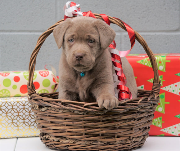 AKC Registered Silver Labrador Retriever For Sale Millersburg OH, Male - Rudolph