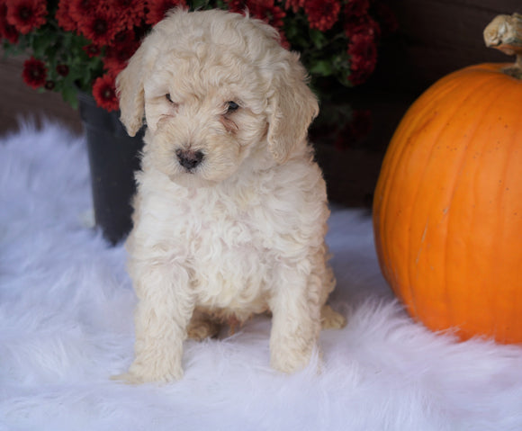 ACA Registered Miniature Poodle For Sale Holmesville, OH Male- Nevin