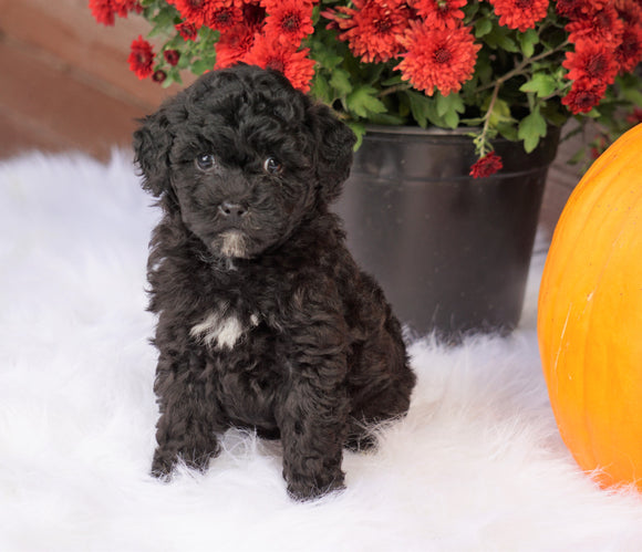 ACA Registered Miniature Poodle For Sale Holmesville, OH Female- Nina