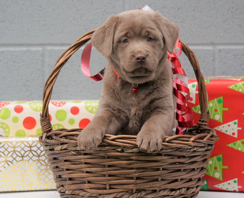 AKC Registered Silver Labrador Retriever For Sale Millersburg OH, Female - Snowball- BLACK FRIDAY SPECIAL-