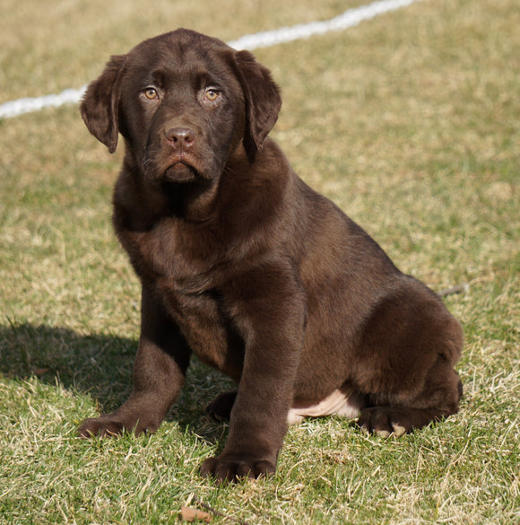 AKC Registered Labrador Retriever For Sale Sugarcreek, OH Male- Diesel