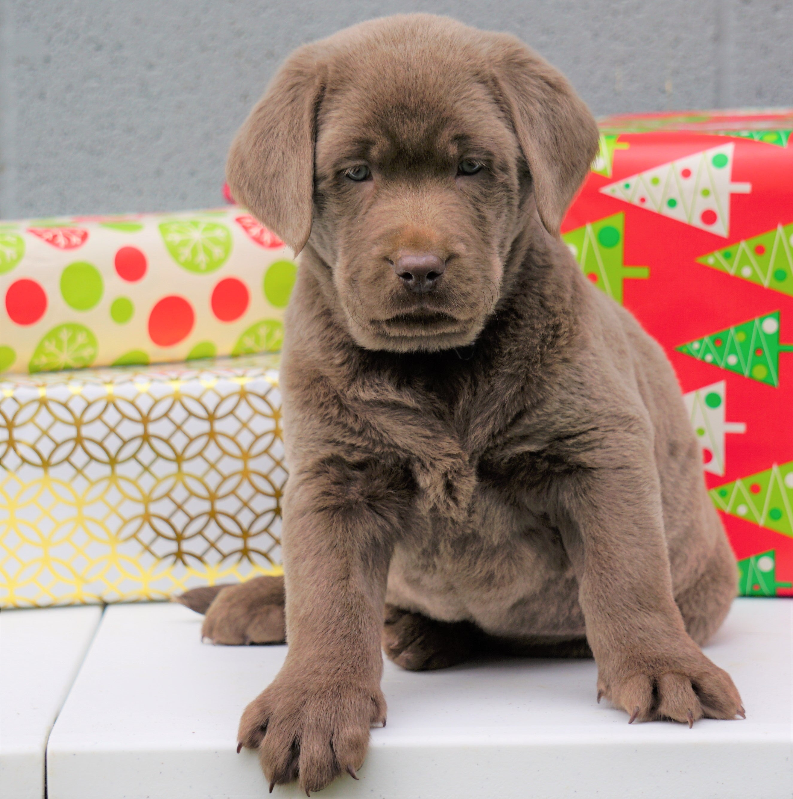 Akc Registered Silver Labrador Retriever For Sale Millersburg Oh Male Ac Puppies Llc