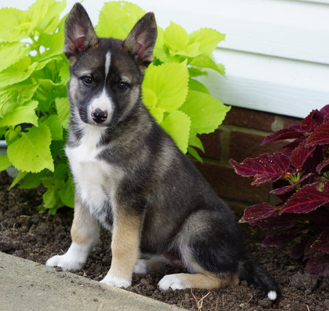 German Shepherd/ Siberian Husky For Sale Millersburg, OH Female- Oakley
