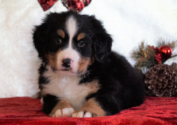 ACA Registered Bernese Mountain Dog For Sale Fredericksburg, OH Male - Oakley