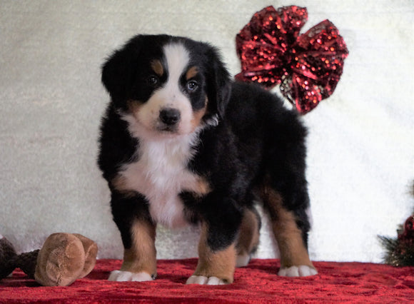 ACA Registered Bernese Mountain Dog For Sale Fredericksburg, OH Male - Bentley