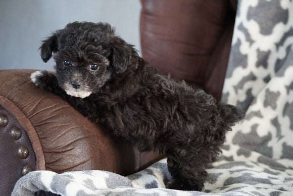 Teacup Poodle For Sale Sugarcreek Ohio Female Minnie