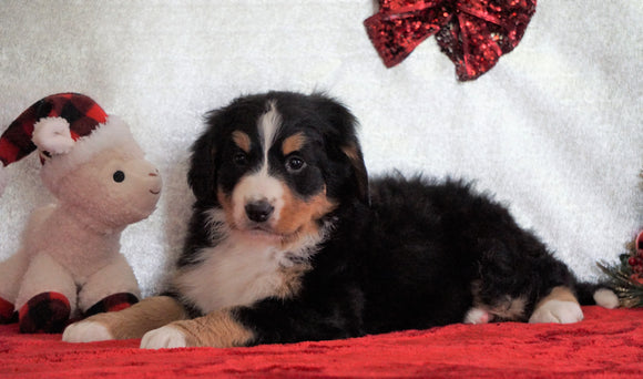 ACA Registered Bernese Mountain Dog For Sale Fredericksburg, OH Female - Lucy