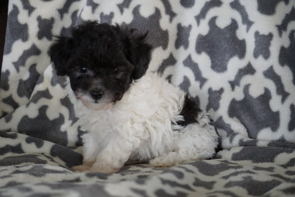 Teacup Poodle For Sale Sugarcreek Ohio Male Mischief