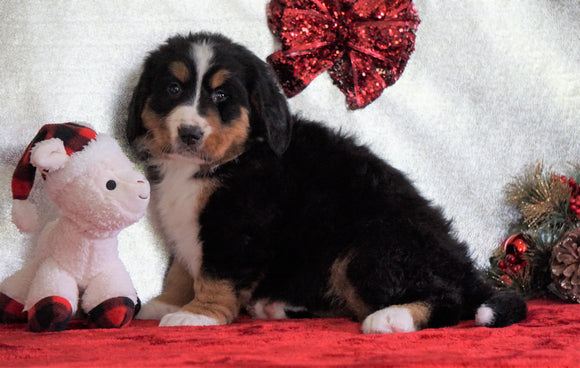ACA Registered Bernese Mountain Dog For Sale Fredericksburg, OH Female - Heidi