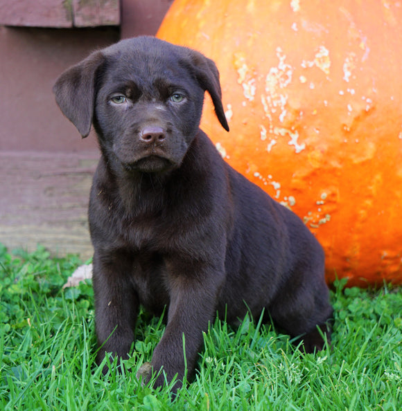 Chocolate Labrador Retriever For Sale Sugarcreek, OH Female- Clover