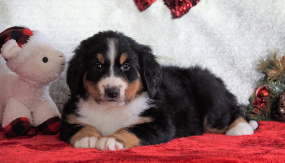 ACA Registered Bernese Mountain Dog For Sale Fredericksburg, OH Female - Greta