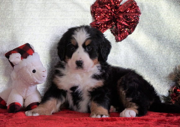 ACA Registered Bernese Mountain Dog For Sale Fredericksburg, OH Female - Sadie