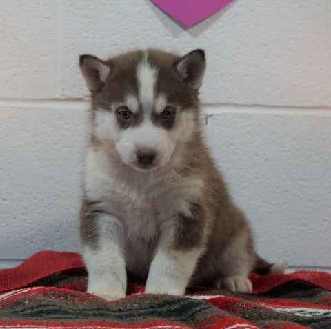 Siberian Husky For Sale Fredericksburg, OH Male - Brevin