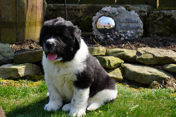 AKC Registered Newfoundland Puppy For Sale Fresno Ohio Male Gus