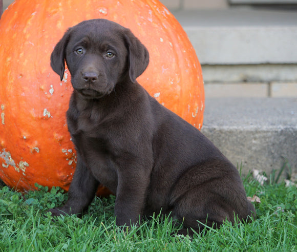 AKC Registered Charcoal Labrador Retriever For Sale Sugarcreek, OH Female- Paisley