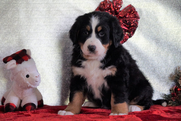 ACA Registered Bernese Mountain Dog For Sale Fredericksburg, OH Female - Daisy