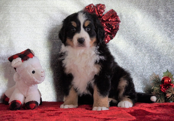 ACA Registered Bernese Mountain Dog For Sale Fredericksburg, OH Female - Penny