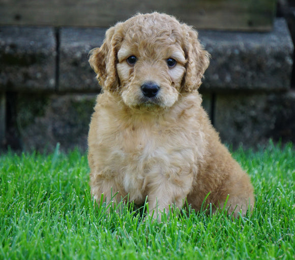 Medium F1BB Goldendoodle For Sale Millersburg, OH Male- Rusty