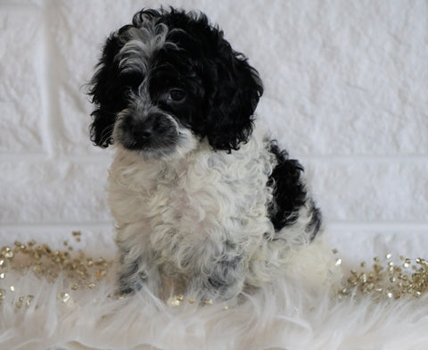 Cockapoo For Sale Dundee OH, Male - Gunner