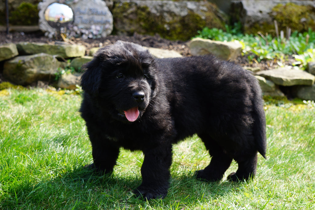 Akc Registered Newfoundland Puppy For Sale Fresno Ohio Male Ashes Ac Puppies Llc