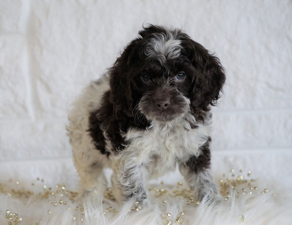 Cockapoo For Sale Dundee OH, Male - Leo