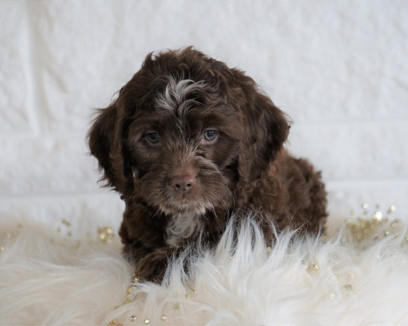 Cockapoo For Sale Dundee OH, Female - Mandi