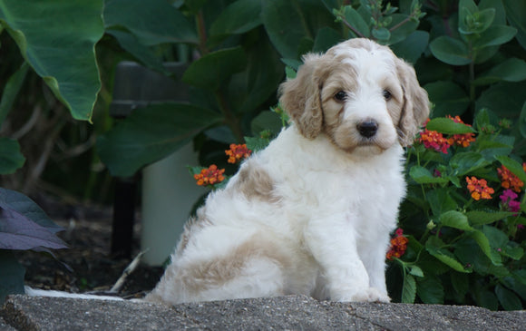 Medium F1BB Goldendoodle For Sale Millersburg, OH Male- Roscoe