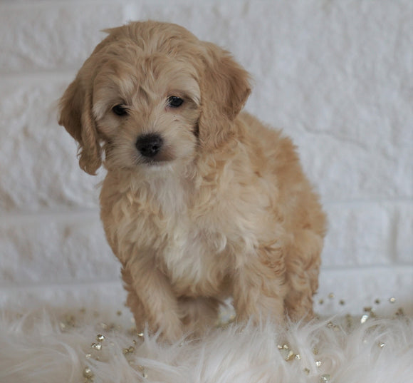 Cockapoo For Sale Dundee OH, Female - Winnie