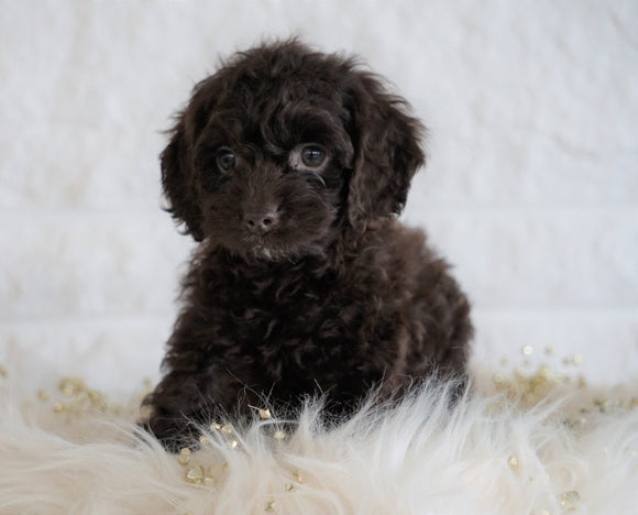 Cockapoo For Sale Dundee OH, Female - Jenny
