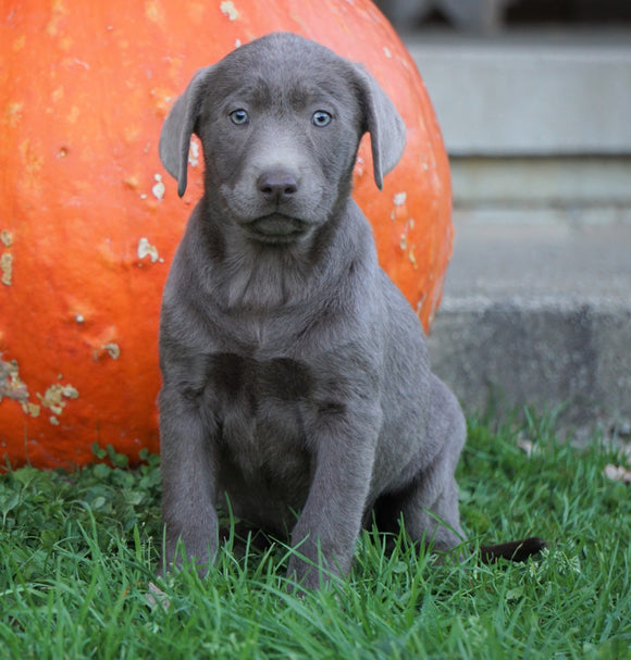 AKC Registered Silver Labrador Retriever For Sale Sugarcreek, OH Female- Autumn