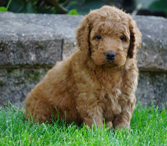 Medium F1BB Goldendoodle For Sale Millersburg, OH Male- Royal