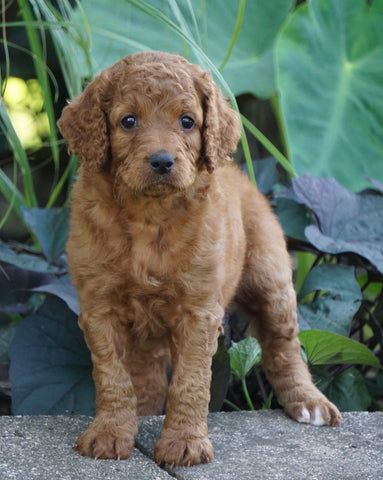 Medium F1BB Goldendoodle For Sale Millersburg, OH Female- Ruby