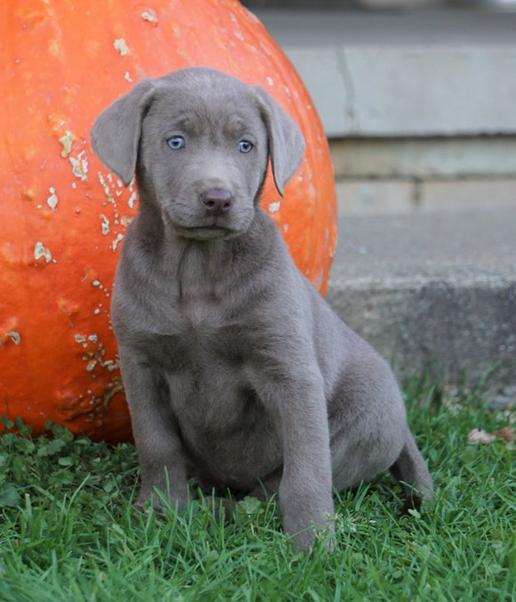 AKC Registered Silver Labrador Retriever For Sale Sugarcreek, OH Female- Goldie