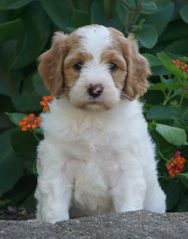 Medium F1BB Goldendoodle For Sale Millersburg, OH Female- Rita