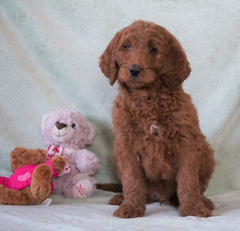 Standard F1B Goldendoodle For Sale Holmesville, OH Male - Brady