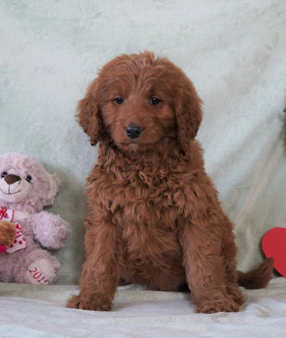 Standard F1B Goldendoodle For Sale Holmesville, OH Male - Harley